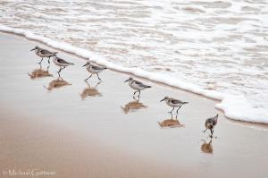 Sanderlings on the Beach - California